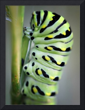 Black Swallowtail Butterfly Caterpillar Macro