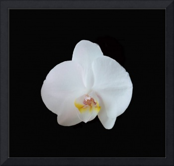 Dramatic single white orchid