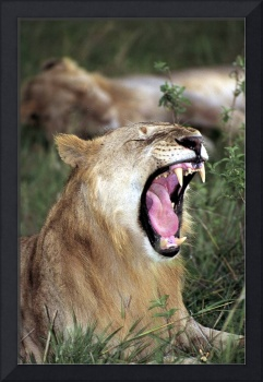Young Lion's Yawn