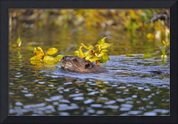 Beaver swims with a branch in its pond in Denali N