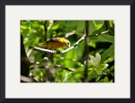 Yellow Warbler by Rich Kaminsky