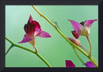 Orchid Flower Buds