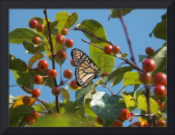 Monarch in Berry Tree