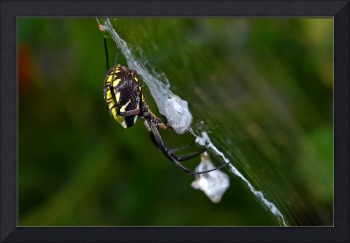 Garden Spider Profile