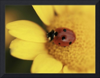 Ladybird on flower, Macro, still life, ladybug ph3