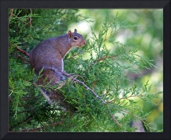 Squirrel sitting in Evergreen Tree