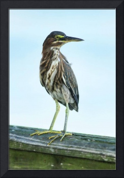 Green Heron On The Dock
