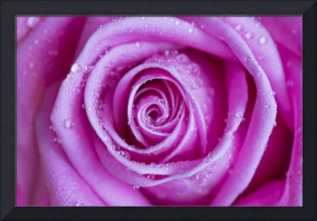Pink Rose with rain drops