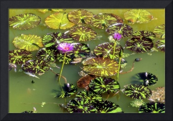 Caribbean Water Lilies