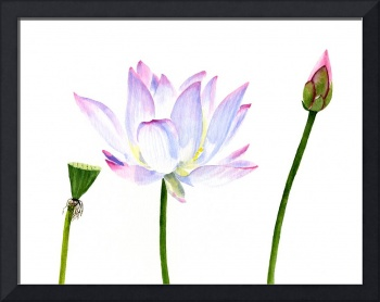 White Lotus Flower with Bud and Seed Pod