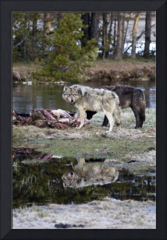 Reflection Two Wolves - Yellowstone