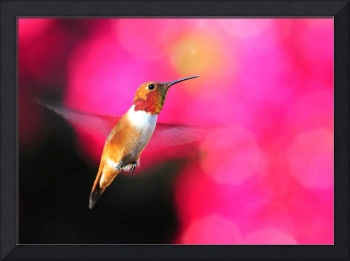 Rufous Hummingbird on Pink