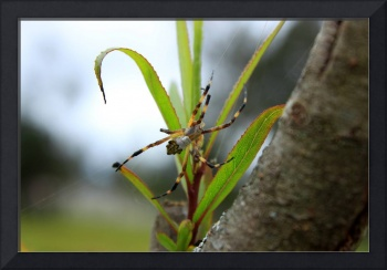 Orb Weaver Spider on a Plant