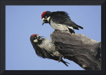Acorn Woodpecker Photograph