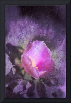 Old fashioned pink rose, purple texture