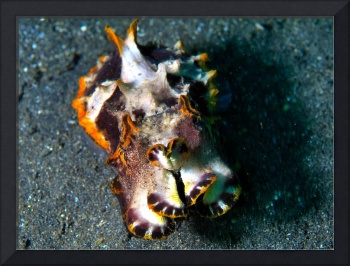 Changeable Cuttlefish2