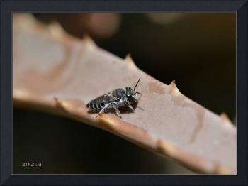 Baby Bee Fly on Cactus