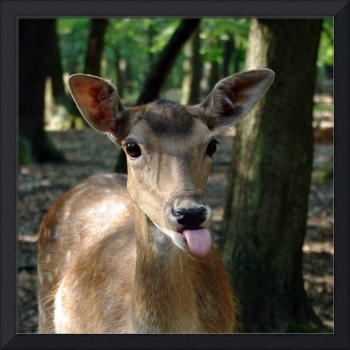 0039_roe_deer_puts_his_tongue_out