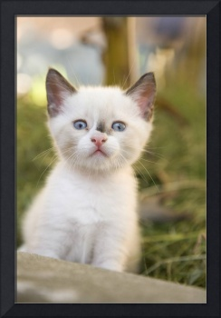 Cute white kitten, 2 months old