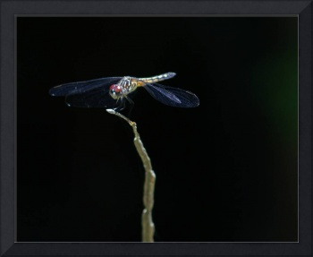 Dragonfly perch, dark background.