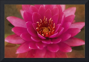 Majestic Pink Water Lily