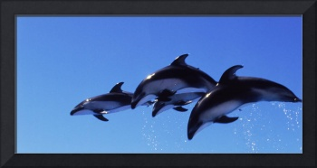 Four Bottle-nosed dolphins (Tursiops truncatus) in