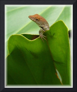 Florida's Brown Anole