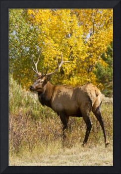 Bull Elk with Autumn Colors