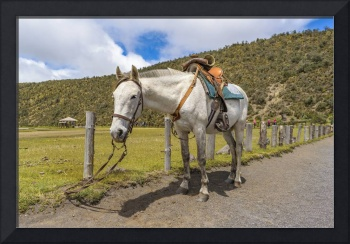 White Horse Tied Up at Cotopaxi National Park