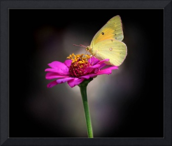 Orange Sulphur Butterfly Portrait