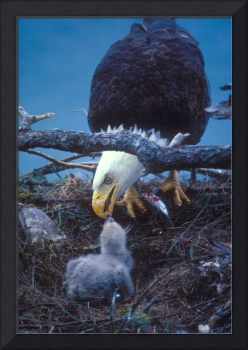 feeding the eaglet