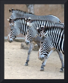 Zebras Walking the Line