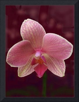 Orchid Bloom (Hybrid)