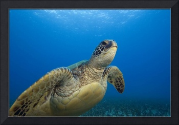Hawaii, Close-Up Of Green Sea Turtle Swimming Forw
