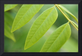 Cassia Tree Leaves in Springtime_1789