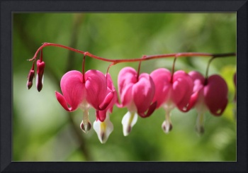 red bleeding hearts, soft background