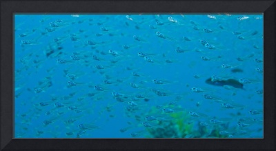 Bigeye Sweepers, Similan Islands National Marine P