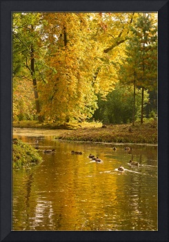 Wild-ducks are in the autumn forest