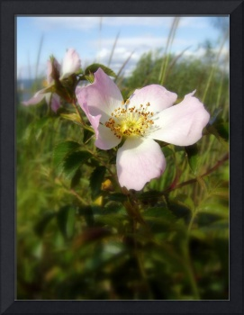 old fashioned roses by Fox Creek, Columbia River 4