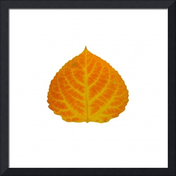 Orange and Yellow Aspen Leaf 2