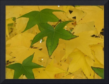 Green and Yellow Sycamore Leaves