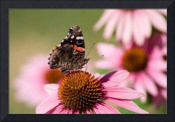 Red Admiral (IMG_0715)
