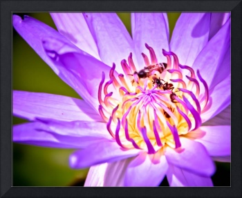 Bees in Lotus