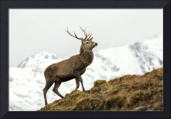 Red Deer Stag in Winter