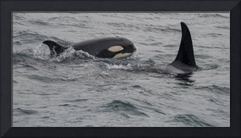 Orca Baby and Mom, Icy Strait, Alaska