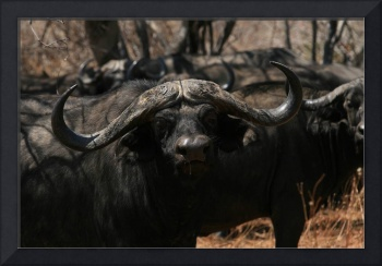 Cape Buffalo from Ruaha