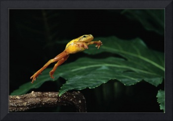 Yellow Tree Frog Jumping