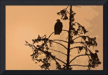 Silhouette of a Bald Eagle perched on a tree at su
