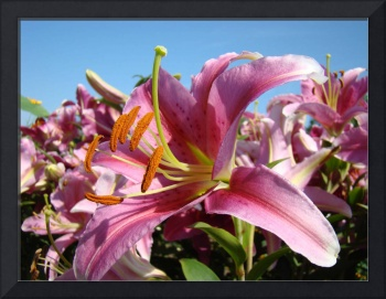 PINK LILY FLOWERS Sunlit Lilies Art Blue Sky