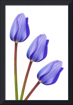 Purple Tulip Trio